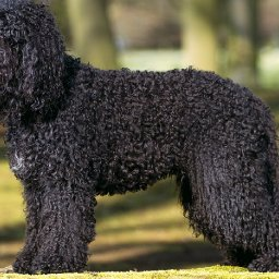 meet-the-four-new-breeds-competing-at-the-westminster-kennel-club-dog-show-this-year