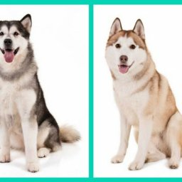can-you-tell-these-dog-breed-look-alikes-apart-american-kennel-club